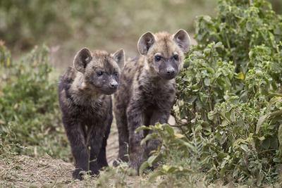 https://imgc.allpostersimages.com/img/posters/two-spotted-hyena-spotted-hyaena-crocuta-crocuta-pups_u-L-PWFIXN0.jpg?p=0