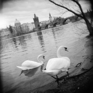 Two Swans in a River, Vltava River, Prague, Czech Republic