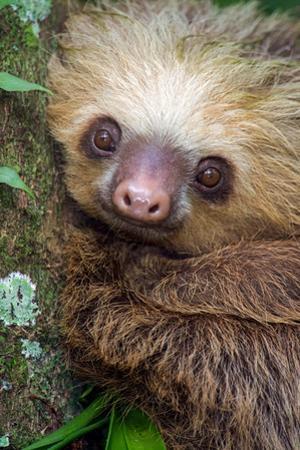 Two-Toed Sloth (Choloepus didactylus), Tortuguero, Costa Rica
