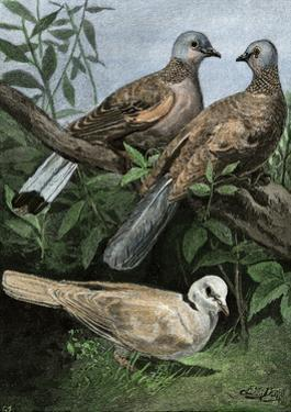 Two Turtle-Doves and a Ring-Necked Dove (Below)