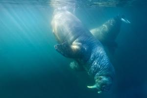 Two Walruses Underwater
