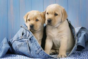 Two Yellow Labrador Puppies in Jeans