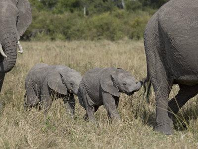 https://imgc.allpostersimages.com/img/posters/two-young-african-elephant-masai-mara-national-reserve_u-L-P91GPB0.jpg?p=0