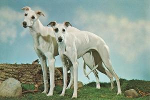 Two Young Greyhounds