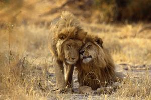 Two Young Males Rubbing Heads