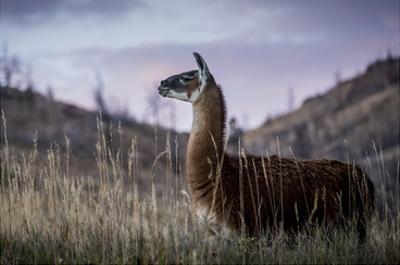 Llama Portrait I