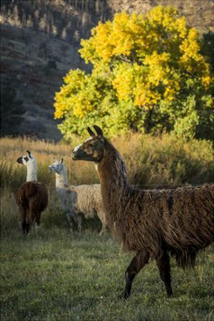 Llama Portrait III