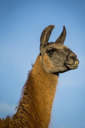Llama Portrait IV