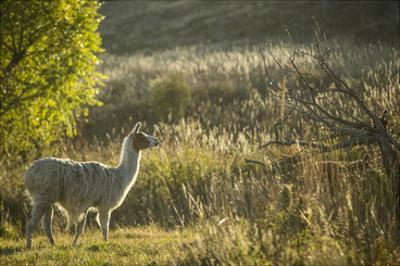 Llama Portrait V