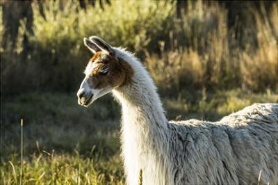 Llama Portrait VI