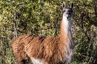 Llama Portrait VIII