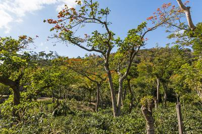 https://imgc.allpostersimages.com/img/posters/typical-flowering-shade-tree-arabica-coffee-plantation-in-highlands-en-route-to-jinotega_u-L-PWFHCT0.jpg?p=0