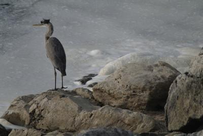 A Great Blue Heron, Ardea Herodias, on the Bank of the Potomac River