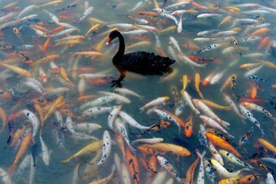 Black Swan, Cygnus Atratus, and Koi, Cyprinus Carpio, Swimming in the Water