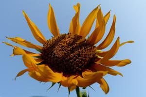 Close-Up of a Sunflower by Tyrone Turner