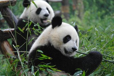 Giant Panda, Ailuropoda Melanoleuca, Eating Twig