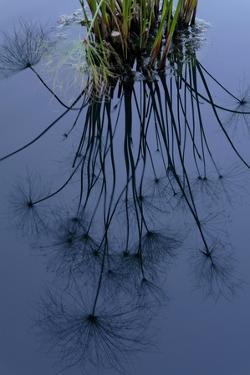 Reflection of Dandelions on Water by Tyrone Turner