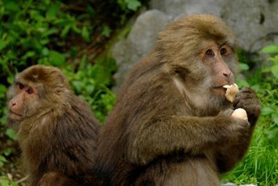 The Macaque, Macaca, in Emeishan National Park, Sichuan Province, China