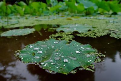 Water Drops on a Water Lily, Nymphaeaceae, Floating on Water