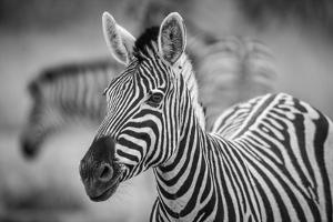 A Herd of Zebra Grazing in the Early Morning in Etosha, Namibia by Udo Kieslich