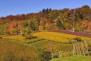 Germany, Hesse, Odenwald (Region), Bergstrasse (Region), Heppenheim (Town), Vineyards, Autumn Mood by Udo Siebig