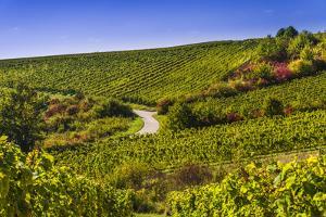 Germany, Hesse, Rheingau Region, Oestrich-Winkel, District Hallgarten, Vineyards by Udo Siebig