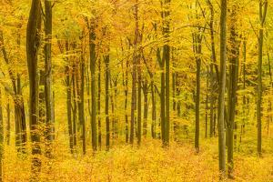 Germany, Hessen, Taunus, Niedernhausen, Beech Forest at the Hammersberg, Hammersberg Circular Route by Udo Siebig