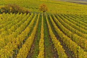 Germany, Rhineland-Palatinate, Palatinate, German Wine Road, Vineyards, Autumn, Tree, Colorful by Udo Siebig