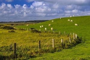 Germany, Schleswig-Holstein, North Frisia, 'Husumer Bucht' (Bay), Husum, Dockkoog, Dyke, Sheeps by Udo Siebig