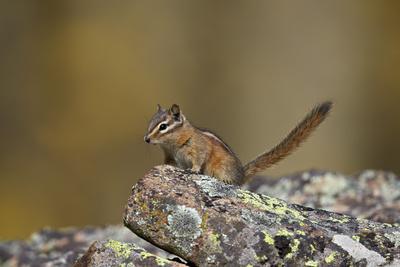 https://imgc.allpostersimages.com/img/posters/uinta-chipmunk-tamias-umbrinus-uncompahgre-national-forest-colorado-usa_u-L-PWFCN20.jpg?p=0