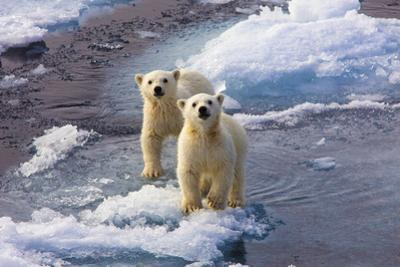 Portrait of Twin, Six-Month-Old Polar Bear Cubs, Ursus Maritimus, Looking Up from an Ice Floe by Uli Kunz