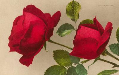 Ulrich Bruner Red Roses
