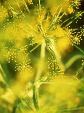 Dill with Flowers by Ulrike Holsten