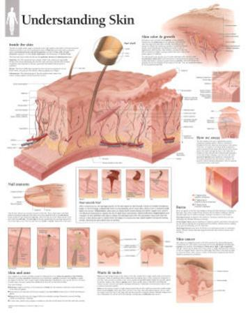 Understanding Skin Educational Chart Poster