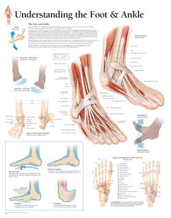 Understanding the Foot and Ankle Educational Chart Poster
