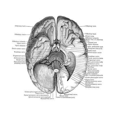https://imgc.allpostersimages.com/img/posters/undersurface-of-the-brain_u-L-PYYJ6J0.jpg?artPerspective=n