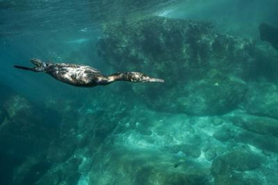 Underwater Cormorant, Sea of Cortez, Mexico