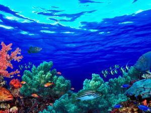 Underwater View of Pallid Triggerfish (Sufflamen Bursa), Oriental Sweetlips (Plectorhinchus Vitt...