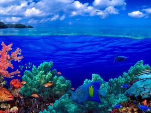 Underwater View of Yellowbar Angelfish (Pomacanthus Maculosus) with Tiger Grouper (Mycteroperca ...