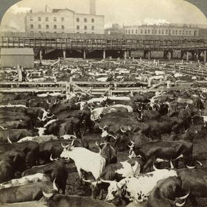 Cattle, Great Union Stock Yards, Chicago, Illinois, USA by Underwood & Underwood