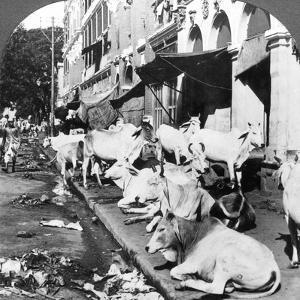 How Hindu Cows Enjoy Life on Harrison Street, Calcutta, India, 1900s by Underwood & Underwood