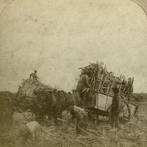 Loading Cane, Sugar Plantation, Louisiana, Usa by Underwood & Underwood