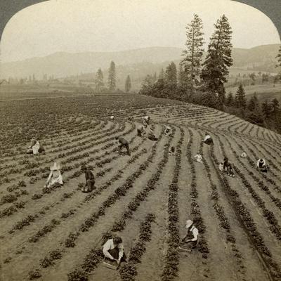 Strawberry Picking, Cedar Creek Farm, Hood River Valley, Oregon, Usa