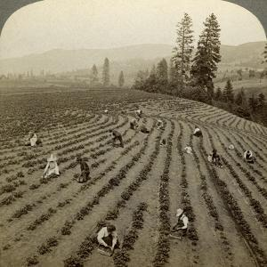 Strawberry Picking, Cedar Creek Farm, Hood River Valley, Oregon, Usa by Underwood & Underwood