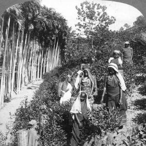 Tamil Women Picking Tea on Sir Thomas Lipton's Estate, Polgahawela, Sri Lanka, 1903 by Underwood & Underwood