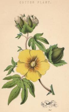 'Cotton Plant', c19th century by Unknown