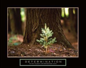 Determination – Little Pine by Unknown