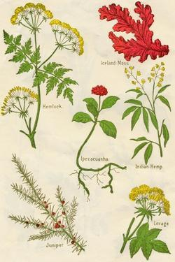 Flowers: Hemlock, Iceland Moss, Ipecacuanha, Indian Hemp, Juniper, Lovage, c1940 by Unknown