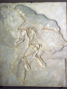 Fossil of Archaeopteryx Lithographica. Late Jurassic, (20th century) by Unknown