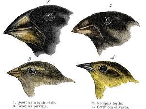 Four or the species of finch observed by Darwin on the Galapagos Islands by Unknown